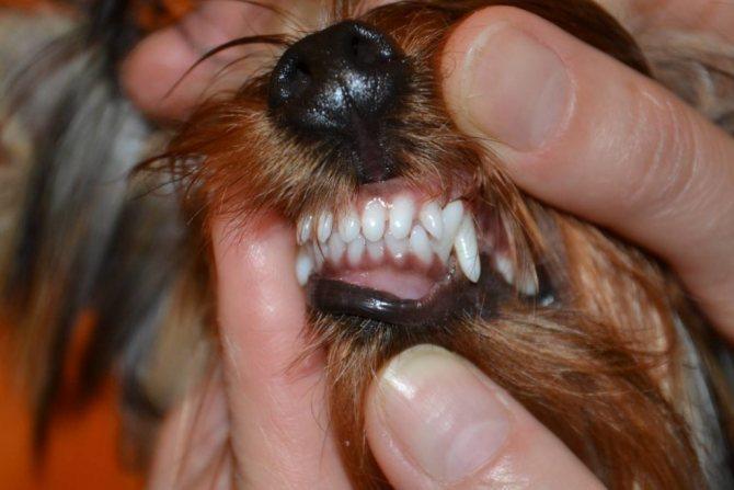 как меняются зубы у йока