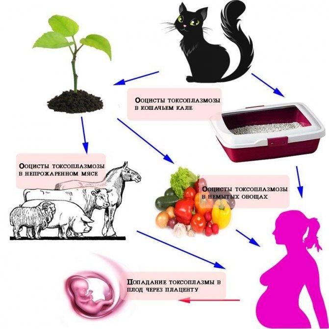 Как можно заразиться токсоплазмозом от кошки