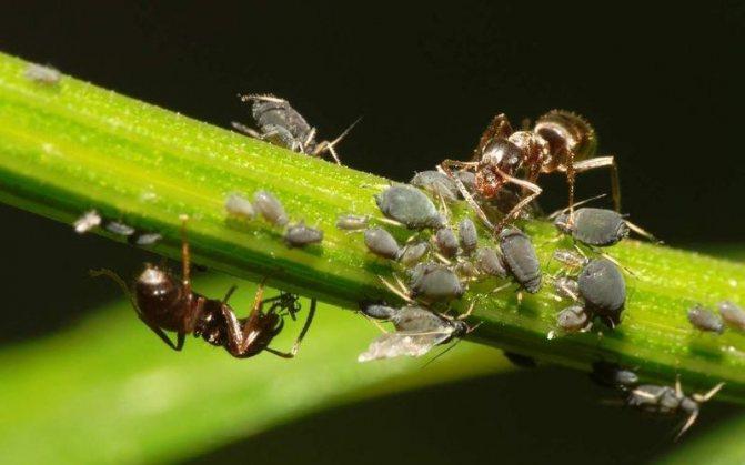 Как муравьи ухаживают за тлей