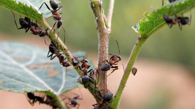 как на дачном участке избавиться от муравьев