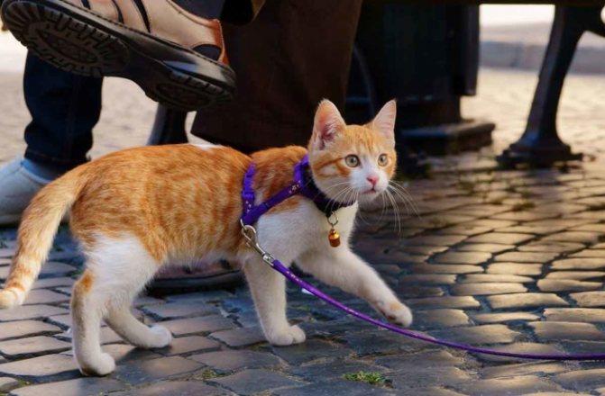 Как надевать на кошку поводок