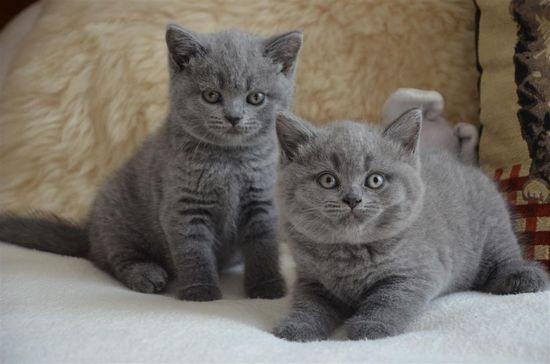 Как назвать британского кота мальчика серого цвета (с родословной)?