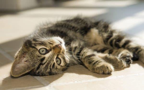 Как назвать полосатого котенка мальчика читайте статью