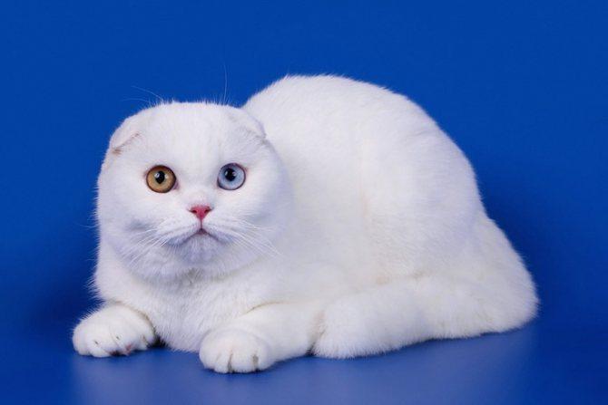 Как называется порода кошек с разными глазами