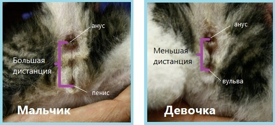 Как определить пол котенка