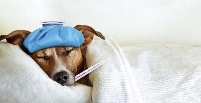 как определить температуру у собаки
