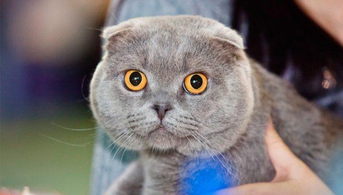 Как организовать вязку шотландской вислоухой кошки