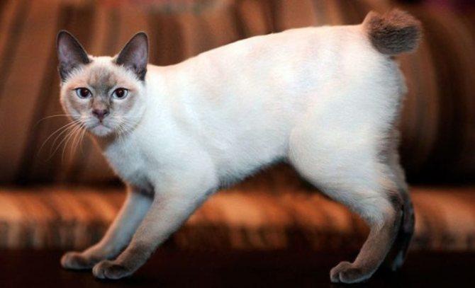 Как отличить настоящего кота породы меконгский бобтейл