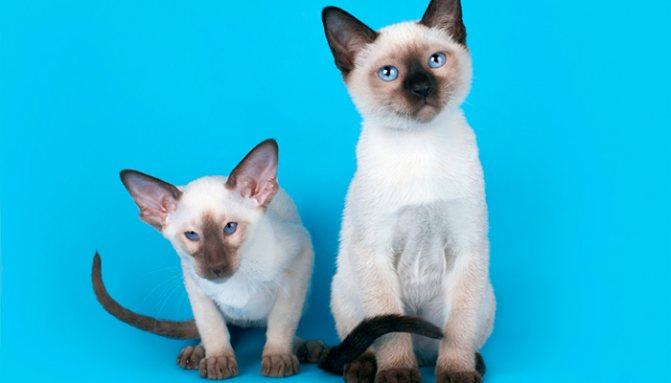 Как отличить тайскую кошку от сиамской