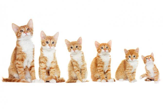 Как переводить котенка на взрослый корм