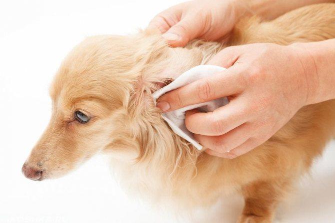 как почистить ухо у собаки