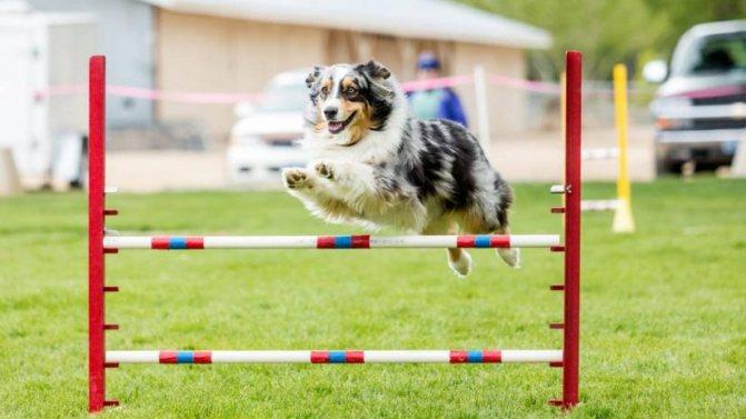 Как подготовить собаку для аджилити на курсах