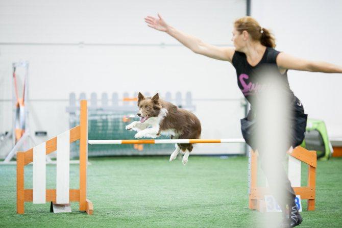 Как подготовить собаку для аджилити самостоятельно