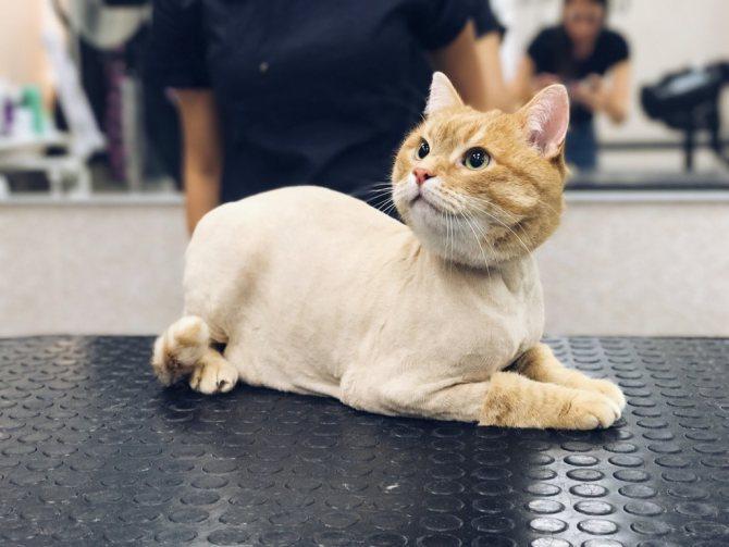 Как подстричь кота в домашних условиях самостоятельно, как это делают профессионалы?