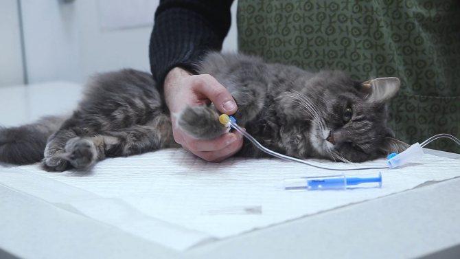 Как поставить капельницу собаке и даже кошке в домашних условиях, может научиться каждый владелец животных