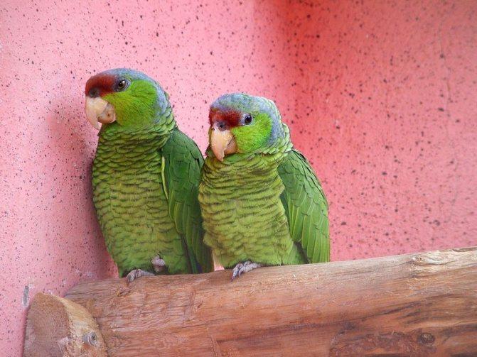 Как правильно обработать клетку попугая и саму птицу, чтобы навсегда вывести вредителей?