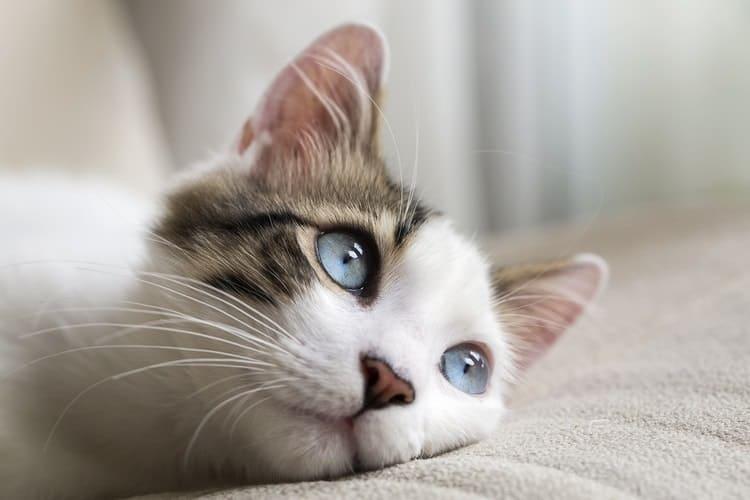 Как правильно проглистогонить кошку