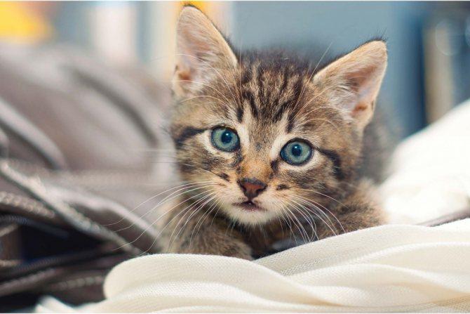 Как правильно промывать глаза котенку при нагноении