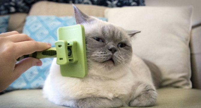 как правильно ухаживать за британским котенком