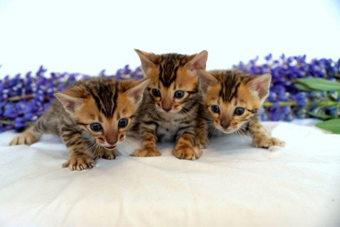 Как правильно выбрать пол и породу котенка