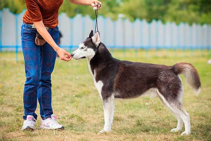 Как правильно выбрать щенка хаски?