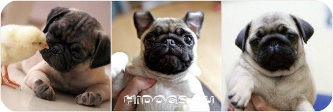 Как правильно выбрать щенка мопса, кого взять мальчика или девочку, какой окрас лучше.