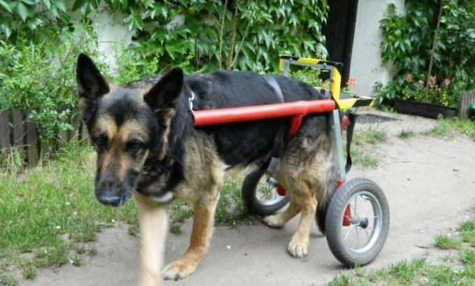 как приостановить прогресирование заболевание у собак с параличём суставов