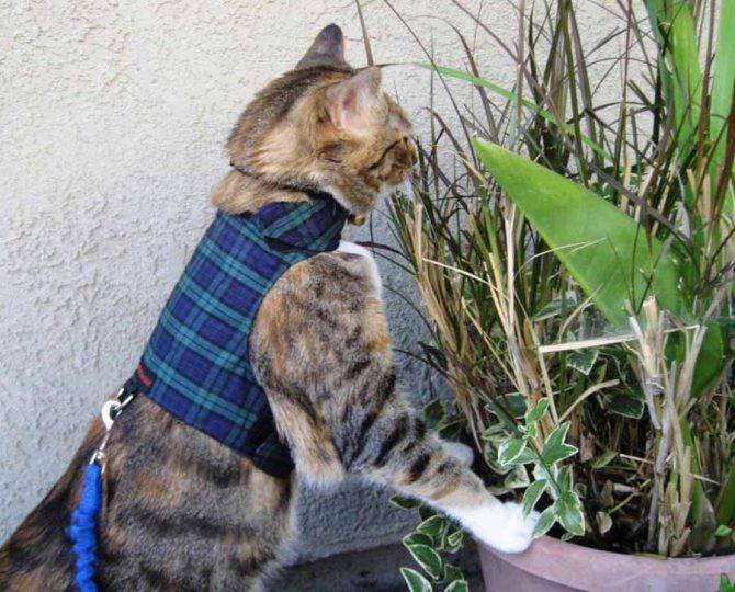 Как приручить кота к шлейке