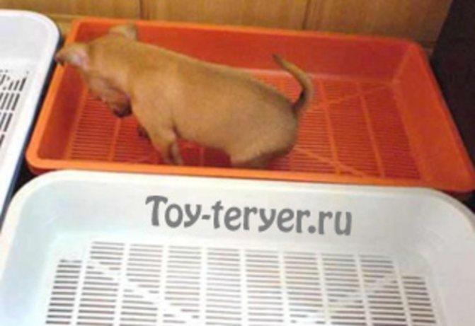 Как приучить к лотку щенка той-терьера
