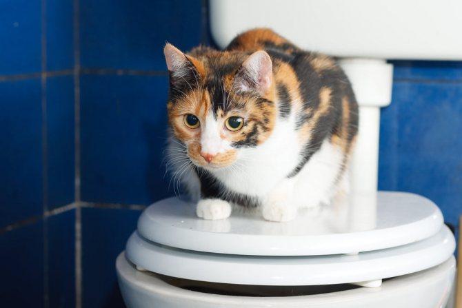 Как приучить кошку ходить на унитаз