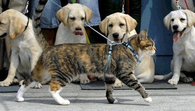 Как приучить кошку к шлейке и прогулкам