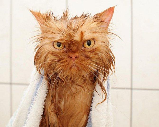 Как приучить кошку к воде. Практические советы. Как научить кошку не бояться купания
