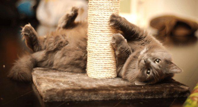 как приучить котенка к когтеточке в квартире.png