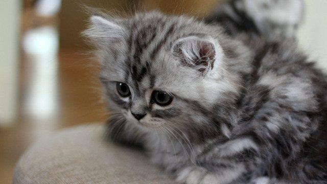 как приучить котенка к туалету в лоток
