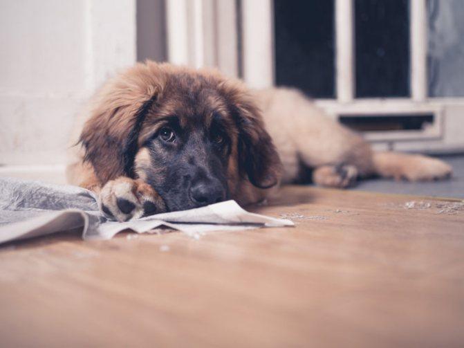 Как приучить щенка ходить на пеленку наказанием