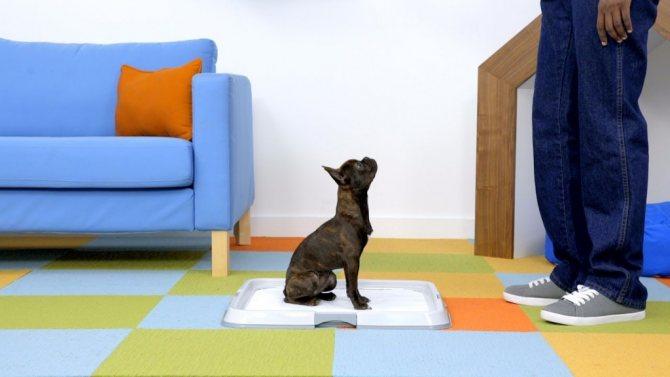 Как приучить щенка ходить на пеленку поощрением