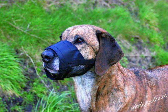Как приучить собаку к наморднику без конфликтов и обид