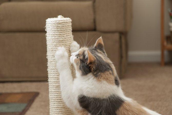 Как приучить взрослую кошку к когтеточке