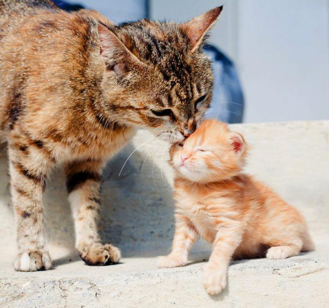 Как проглистогонить беременную кошку
