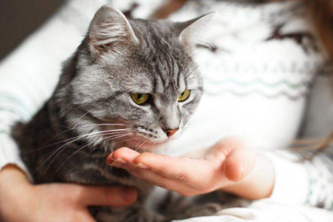 Как проглистогонить кошку таблетками