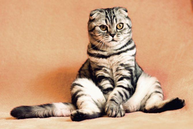 как проглистогонить кошку
