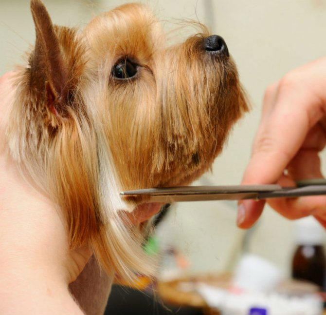 Как проходит тримминг собак