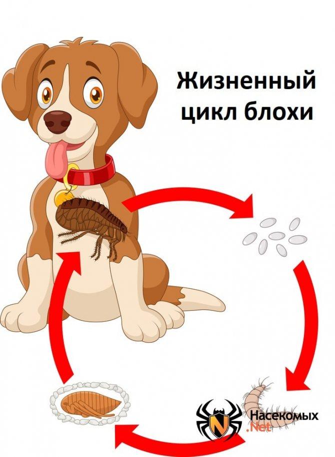 Как проходит жизненный цикл блохи