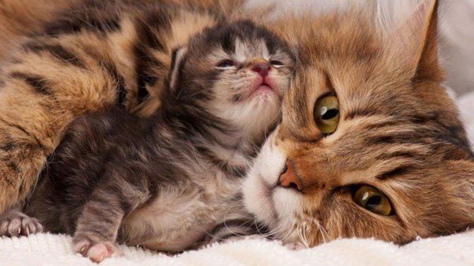 Как проходят роды у кошки
