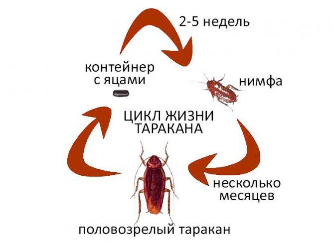 Как размножаются тараканы?