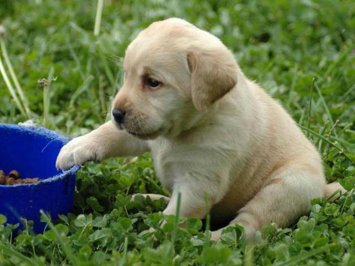 как размочить сухой корм для щенка