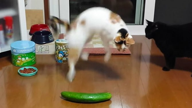 Как реагируют кошки на огурцы