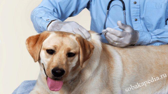 Как сделать внутримышечный или подкожный укол собаке без ошибок и вреда