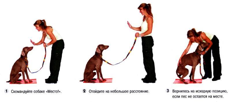 Как щенка научить команде место