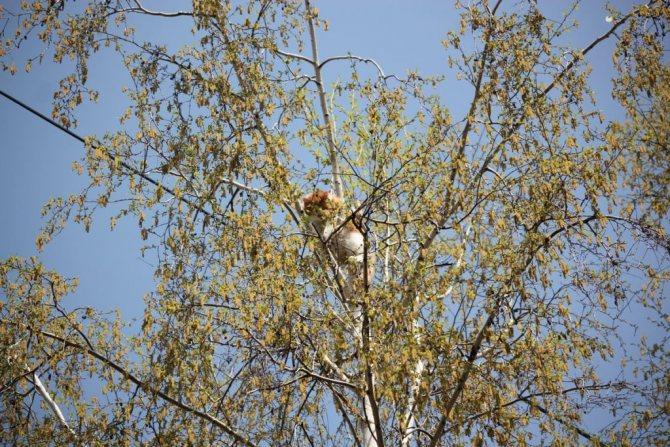 Как снять кошку с дерева служба снимающая кота с высокого дерева